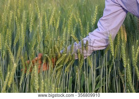 Farmer Moving Ears Of Wheat On Plant By Hand In Agriculture Farm, Wheat Ear In Nature , Closeup Of W