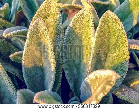 Lamb's Ears, Turkish Lamb's Ear, Stachys Byzantine (stachys Lamiaceae). Garden Plants Close-up.z