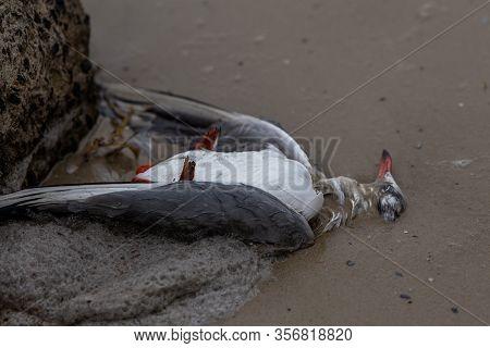Dead Seagull With Foam Of The Sea Surf. Bird Flu. The Corpse Of A Wild Bird. Avian Influenza Grippus