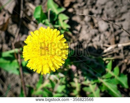 Dandelion Yellow Flower. Single Spring Flower On The Ground.
