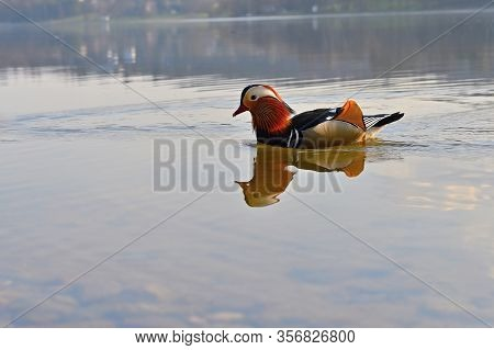 Closeup Male Mandarin Duck (aix Galericulata) Swimming On The Water With Reflection. A Beautiful Bir