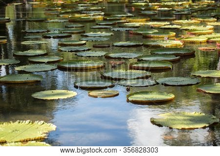 Giant, Amazonian Lily In Water At The Pamplemousess Botanical Gardens In Mauritius. Victoria Amazoni