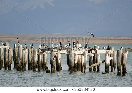 Imperial Shags Leucocarbo Atriceps Perched On The Stumps Of A Old Jetty.