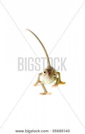Chameleon. Isolation on white
