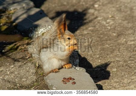 A Cute And Fluffy Squirrel Nibbles Pine Nuts On The Ground, In Early Spring On A Sunny Day. Animals