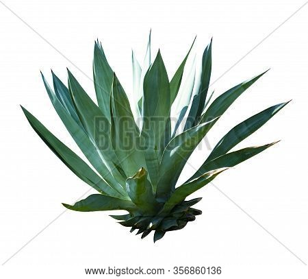 Exotic Plant Agave Isolated On White Background. Blue Agave