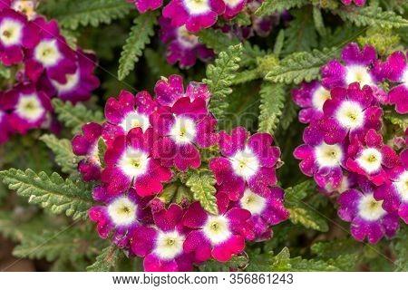 Purple Flower Of Verbena Plant, Beautiful Verbena Flower On The Verbena Plant.