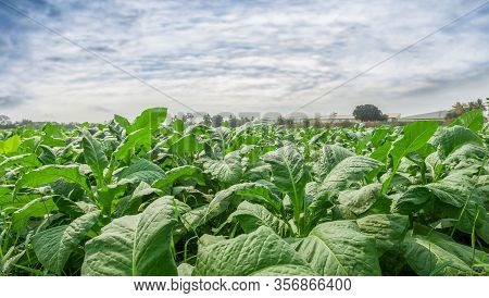 Tobacco Leaf Tree Field Concept, Tobacco Planting Garden Agriculture Farm In Country, Green Leaves S