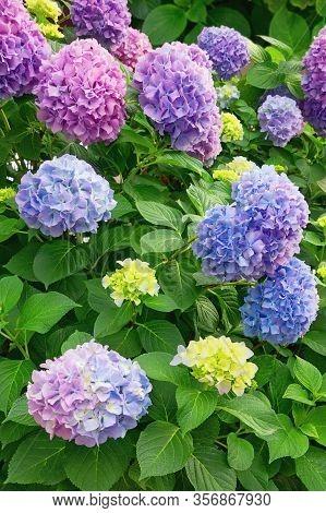 Beautiful Multi-colored Hydrangea Flowers (hydrangea Macrophylla) In The Garden On A Summer Day