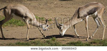 Two Gerenuk Gazelles Fighting