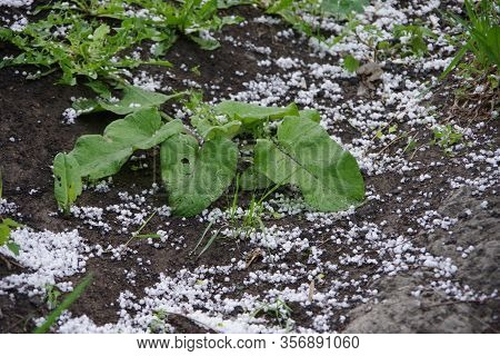 Thunderstorm With Heavy Hail And Rain With Snow. The Hail Broke The Leaves. A Hole In The Leaves. Ha
