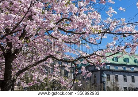 Blooming Japanese Cherry Trees With Flowers In Pink And White In Spring In A Park In Sweden.