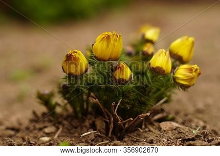 Yellow Flowers Grow In The Garden. Adonis Vernalis Flower Bush