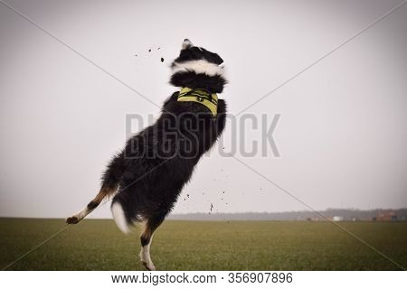 Adult Border Collie Is Cathing Clay On The Field. He Want It So He Must Jump