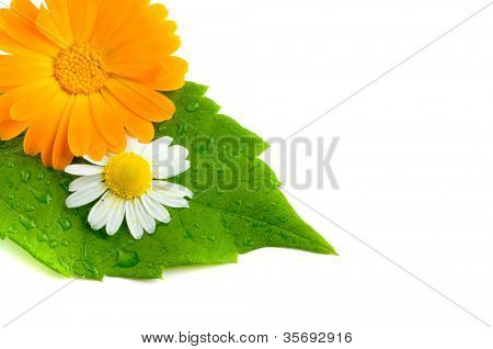 Camomile and leaves.