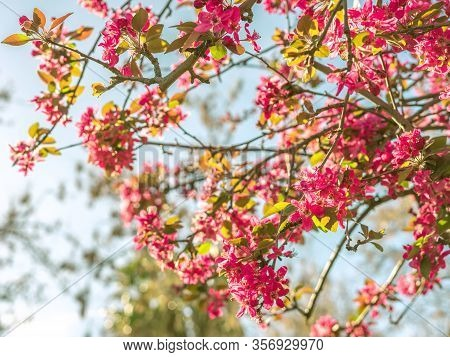Beautiful Spring Background With Cherry Blossom, With Wonderful Pink Flowers On A Blue Sky. Spring C