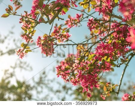 Beautiful Cherry Blossom With A Turquoise Blue Sky In The Background On A Spring Day. Concept Of Flo
