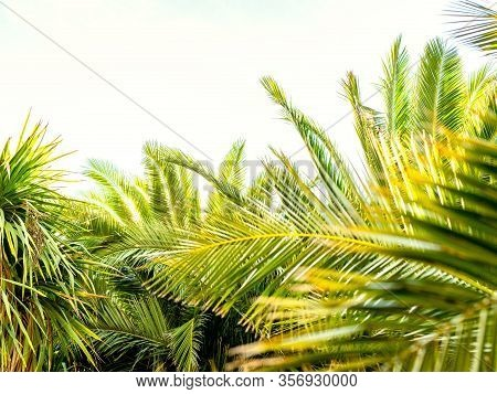 Palm Leaves In The Foreground On A White Background With Space At The Top Of The Image. Concept Of S