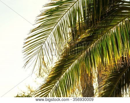 Large Palm Leaves On A Sunny Day Against The Light. Concept Of Summer.