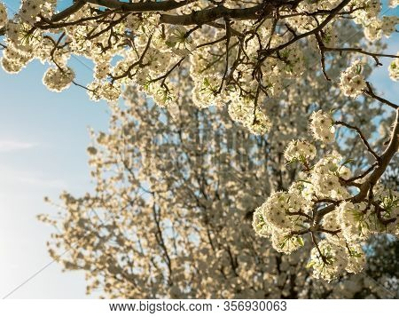 Beautiful White Ball-shaped Flowers On A Tree In The Juan Carlos I Park In Madrid. On A Sunny Day At