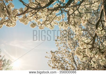 Flowering Tree With White Ball-shaped Flowers Against A Background Of Blue Sky At Sunset And The Ref