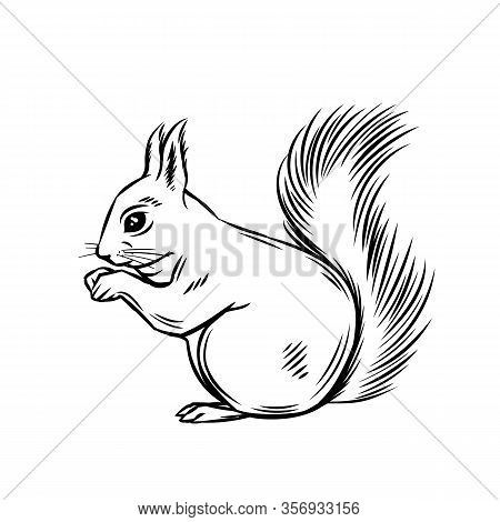 Squirrel Forest Animal. Wild Rodent Ink Illustration. Vector Wild