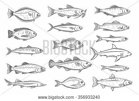 Fish Outline. Engraved Seafood Of Bream, Mackerel, Tunny Or Sterlet, Catfish, Codfish And Halibut. D