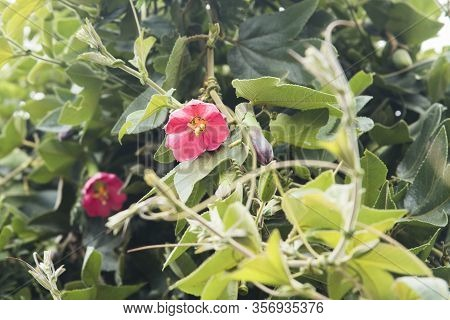 Banana Passionfruit Also Known As Curuba, Passiflora Mixta, Climbing Plant With Pink Bright Flowers