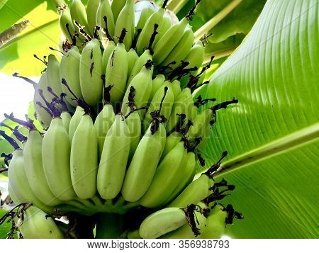 Bunch Of Green And Yellow Bananas In The Garden. Pisang Awak Bananas In Thailand. Agricultural Plant