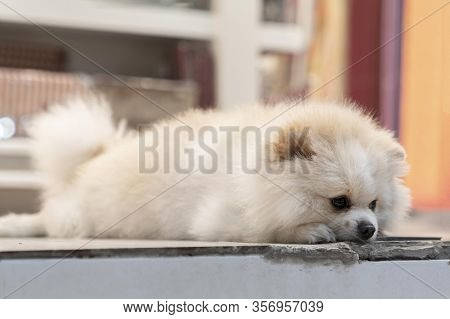 White Pomeranian Dog Lies Sad And Waiting For The Owner