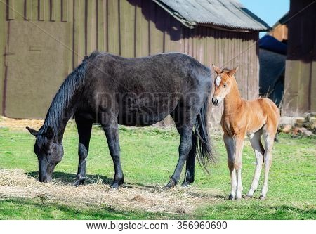 Black Horse Female With Foal In A Farm Yard In Spring On Sunny Day