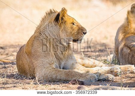 Beautiful Young Lion Male Rests In Serengeti