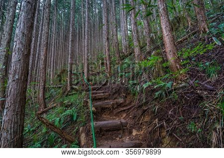 Hiking Path In Coniferous Forest. Pine Trees Trunks And Hiking Path With Steps. Temperate Coniferous