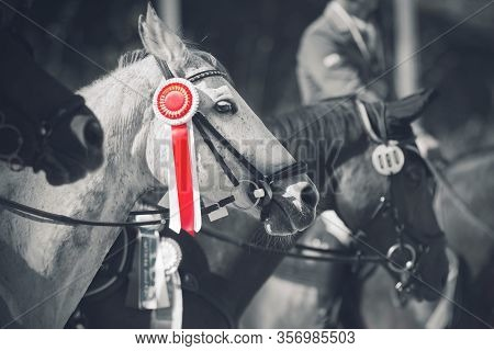 A Beautiful White Racehorse Stands At The Awarding Of Competition Winners With Trophies And Rosettes