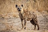 portrait of spotted hyena in luangwa national park zambia poster