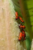 These red aphids were spotted on milkweed in New Hampshire. I believe these are goldenglow aphids. poster