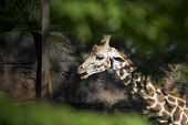 A reticulated giraffe with it's tongue out at the Oregon Zoo. poster