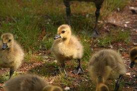 Baby Geese at Mother's Feet