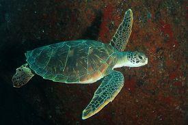 Green Sea Turtle underwater on coral reef