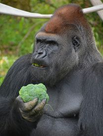 Silver Back Gorillas Are Ground-dwelling, Predominantly Herbivorous Apes That Inhabit The Forests Of