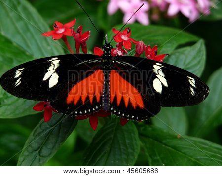 Doris Longwing Butterfly (Heliconius doris)