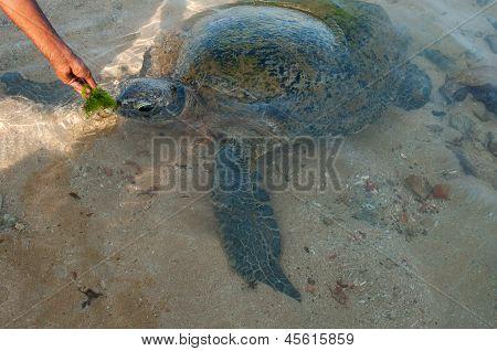Feeding Of Sea Turtle