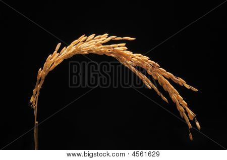 A Sheaf  Of Wheat Shining In The Sunlight