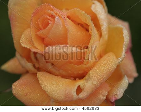 Orange Water Rose