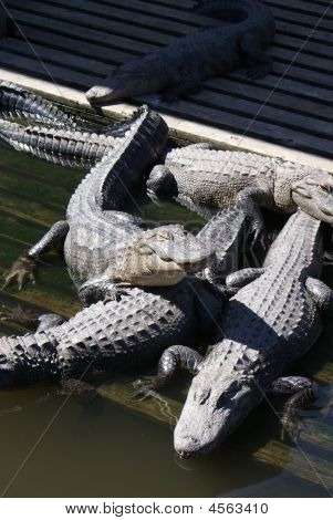 Cluster Of Smaller American Alligators