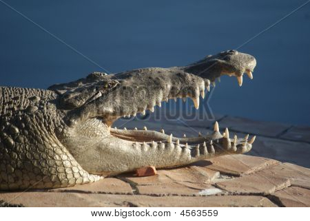 Crocodile Large With Mouth Open