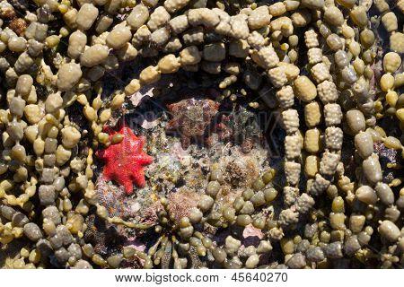 starfish in rock pools