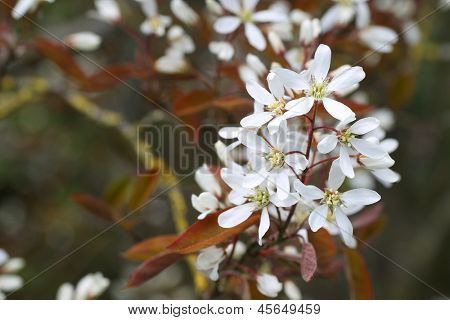 Flowering  raisin tree(Amelanchier ovalis)