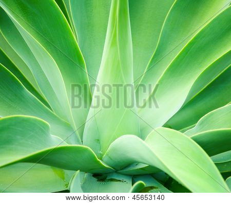 Agave green leaves close-up, shallow focus
