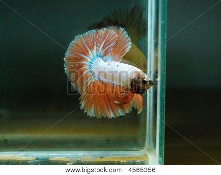 Siamese Fishting Fish